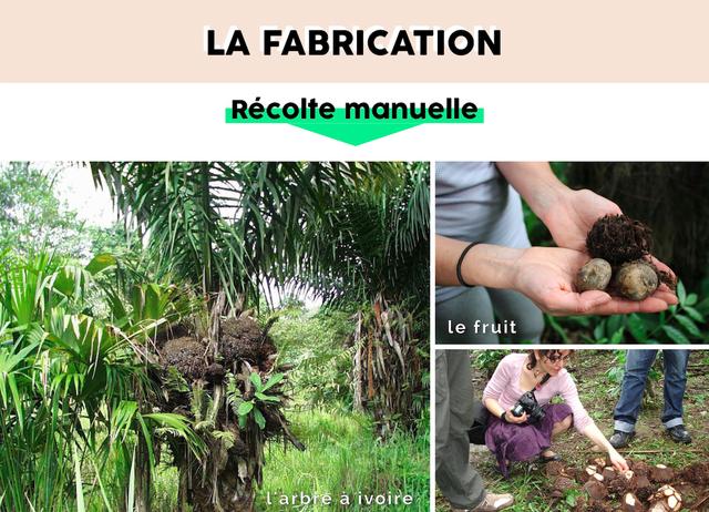 Présentation de l'ivoire végétal en Colombie et processus de récolte- Mazonia