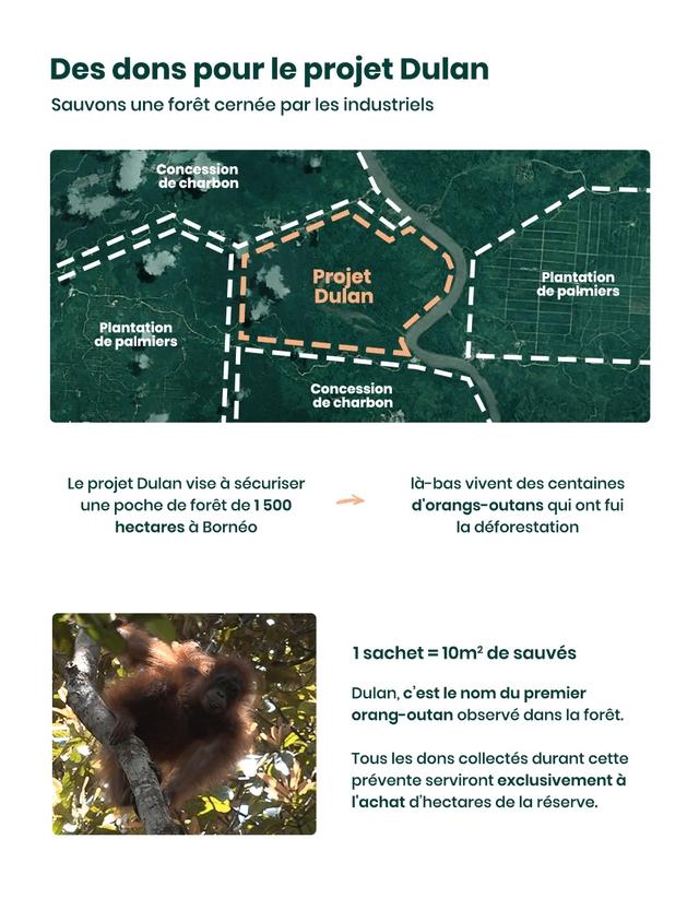 Des dons pour le projet Dulan Sauvons une foret cernee par les industriels Concession de charbon Projet Plantation Dulan de palmiers Plantation de palmiers Concession de charbon Le projet Dulan vise a securiser la-bas vivent des centaines une poche de foret de 500 d'orangs-outans qui ont fui hectares a Borneo la deforestation 1 sachet - 10m2 de sauves Dulan, c'est le nom du premier ang-outan observe dans foret. Tous les dons collectes durant cette prevente serviront exclusivement a I'achat d'hectares de la reserve.