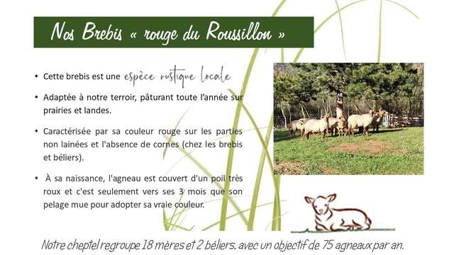 """Nos Brebis """" rouge du Roussillon Cette brebis est une espece Adaptee a notre terroir, paturant toute sur prairies et landes. Caracterise par sa couleur rouge sur les parties non lainees et l'absence de cornes (chez les brebis et beliers). A sa naissance, l'agneau est couvert d'un poil tres roux et c'est seulement vers ses 3 mois que son pelage mue pour adopter sa vraie couleur. 18 mereset avec un opjectif de 75"""