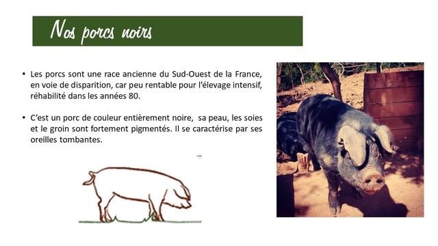 Nos porcs noirs Les porcs sont une race ancienne du Sud-Ouest de la France, en voie de disparition, car peu rentable pour l'elevage intensif, rehabilite dans les annees 80. C'est un porc de couleur entierement noire, sa peau, les soies et le groin sont fortement pigmentes. II se caracterise par ses oreilles tombantes. -