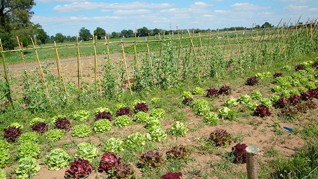 la yourte - côté maraîcher - nos salades