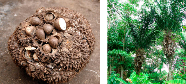 Ivoire végétal et environnement en Colombie- Mazonia