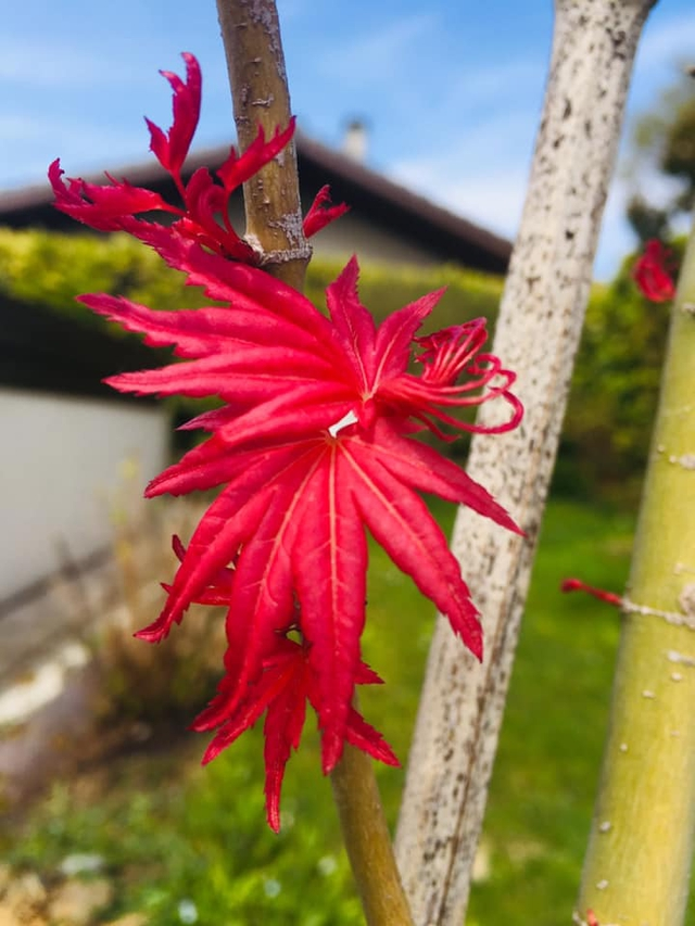 In Search Of The Most Beautiful Japanese Maple Ulule